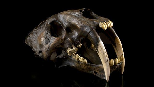 Der Topprädator - Smilodon, die Katze mit den Reißzähnen
