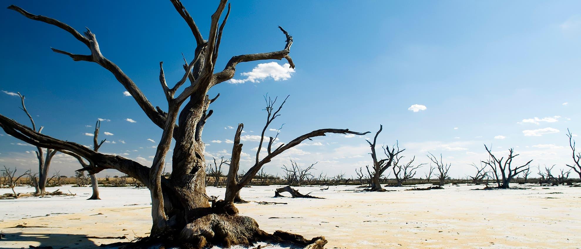 Abgestorbene Bäume in ausgetrockneter Landschaft