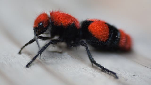 Eine schwarz-orangefarbene, flauschige Wespe ohne Flügel, die aussieht wie eine Ameise.