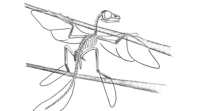 Früher Vogelvorfahr: Scansoriopteryx-Fossil