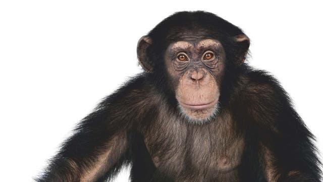 junger Schimpanse