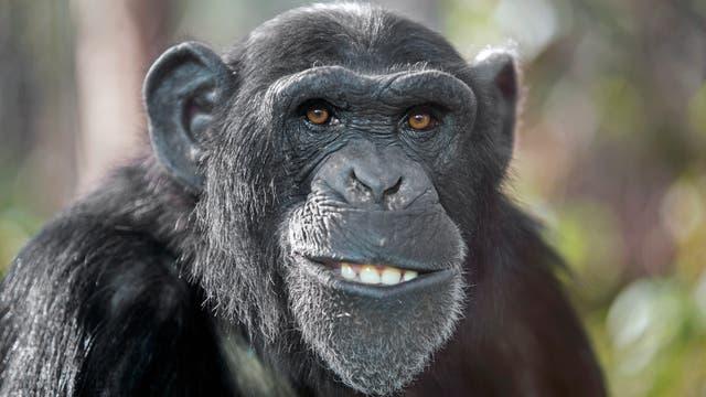 Porträt eines männlichen Schimpansen