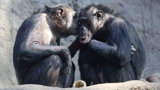 Schimpansen Paar