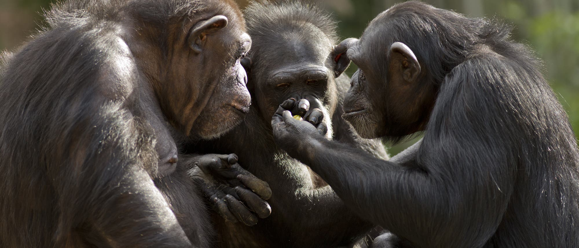Drei Schimpansen in der Gruppe