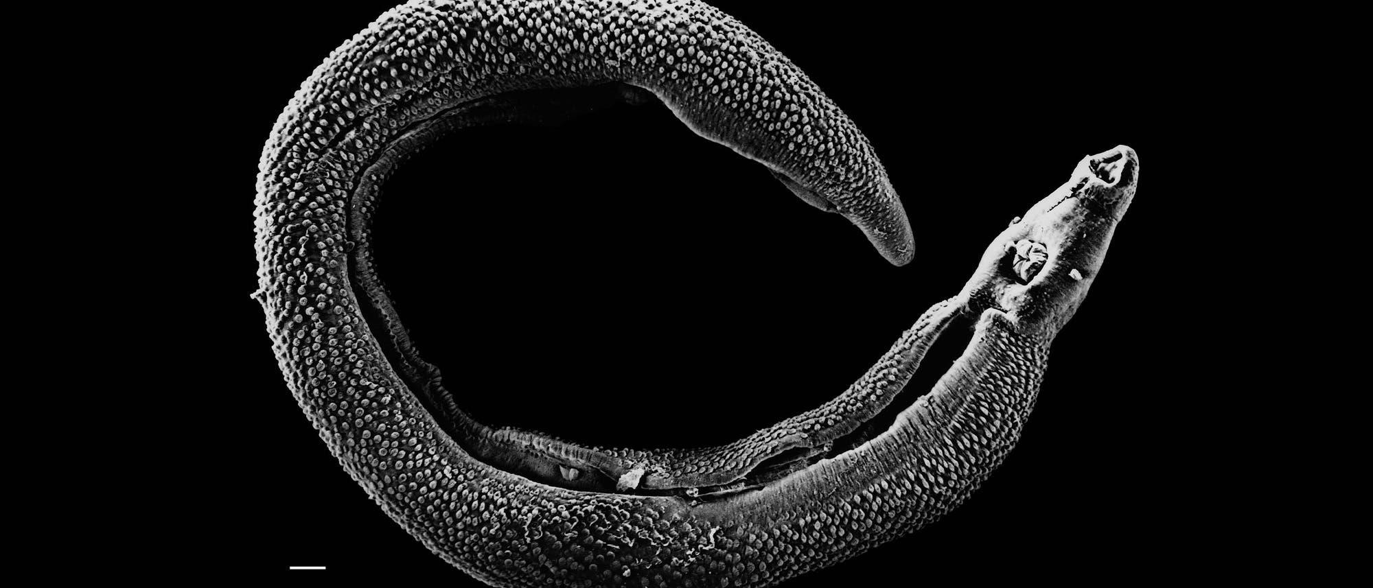 männlicher Schistosoma mansoni Wurm