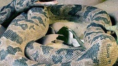 Riesenschlange im Dino-Nest