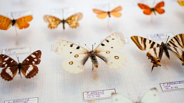 Schmetterlinge in einer Museumssammlung