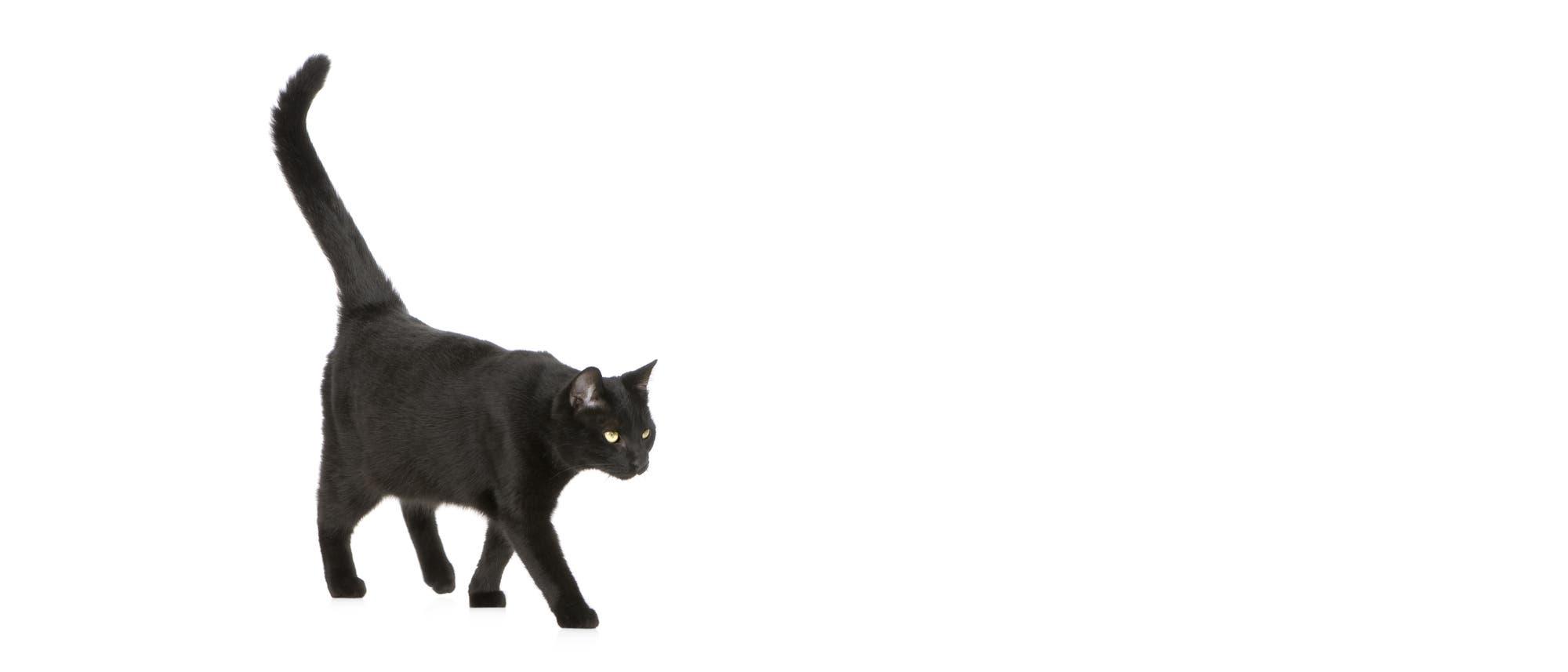 Aberglaube: Schwarze Katze von links bringt Unglück?