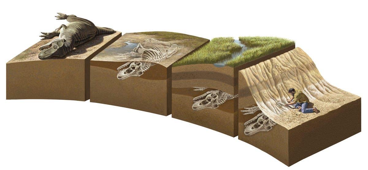 Wie ein Fossil entsteht