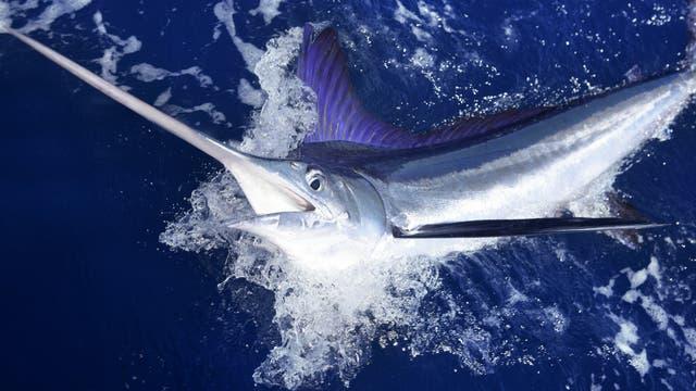 Schwertfische gehören leider zur beliebtesten Beute von Sportfischern