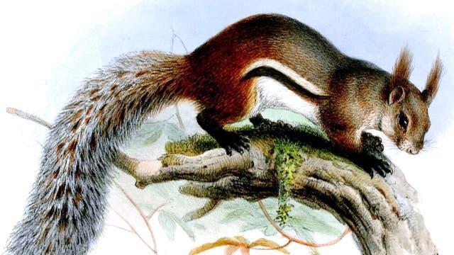 Borneo-Hörnchen