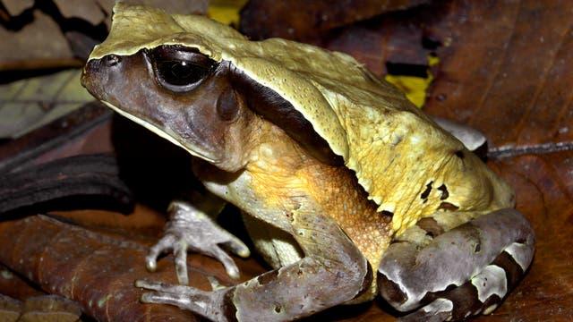 Sclerophrys channingi