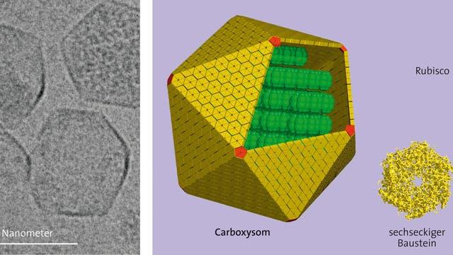 Fotosynthese-Enzym Rubisco