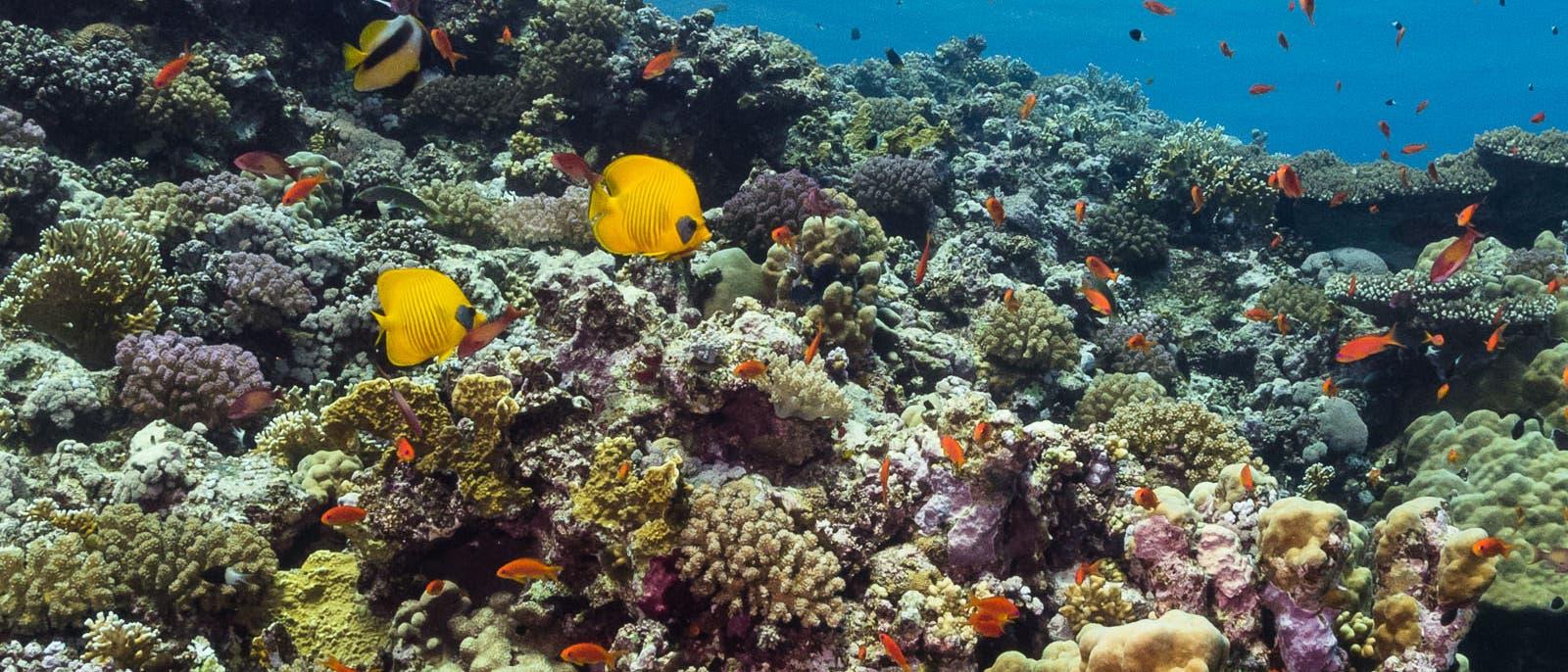 Ägyptische Rotmeerküste 2017: Im Jahr nach dem starken El Niño zeigt das Riff keine Anzeichen einer Korallenbleiche.