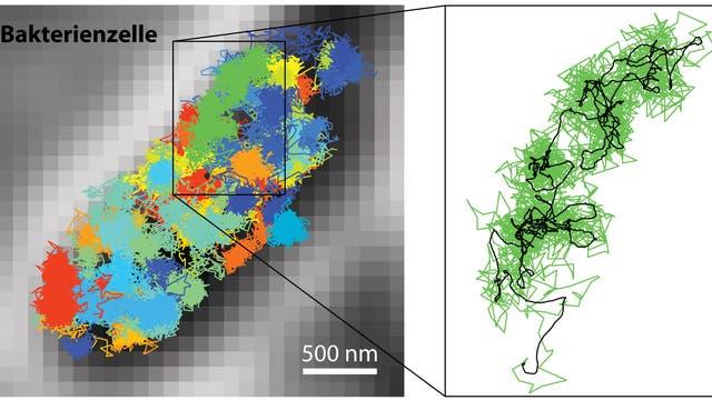 Die Forscher haben in einer Bakterienzelle einzelne fluoreszenzmarkierte Moleküle sichtbar gemacht. Der Ausschnitt stellt die Bewegung eines der Partikel dar.