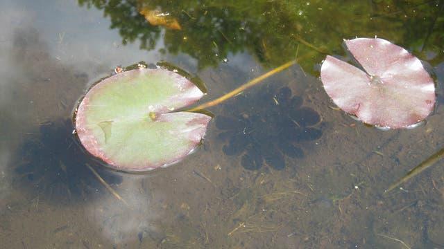 Schatten eines Seerosenblattes