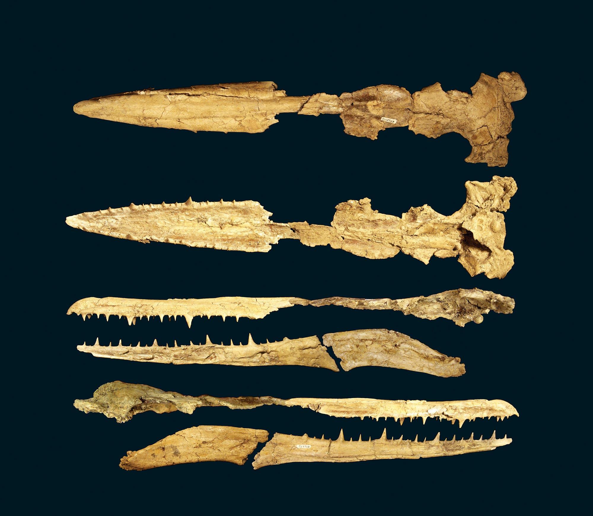 Fossile Schädel der Pelagornithiden