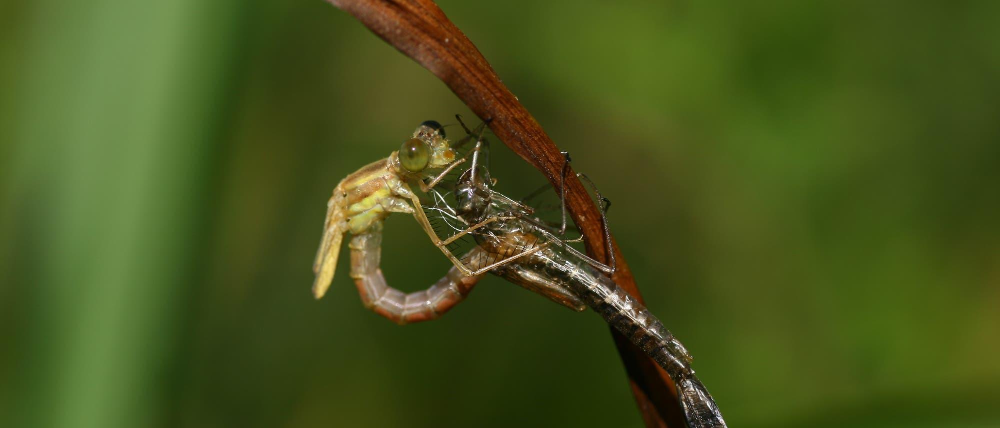 Libelle schlüpft