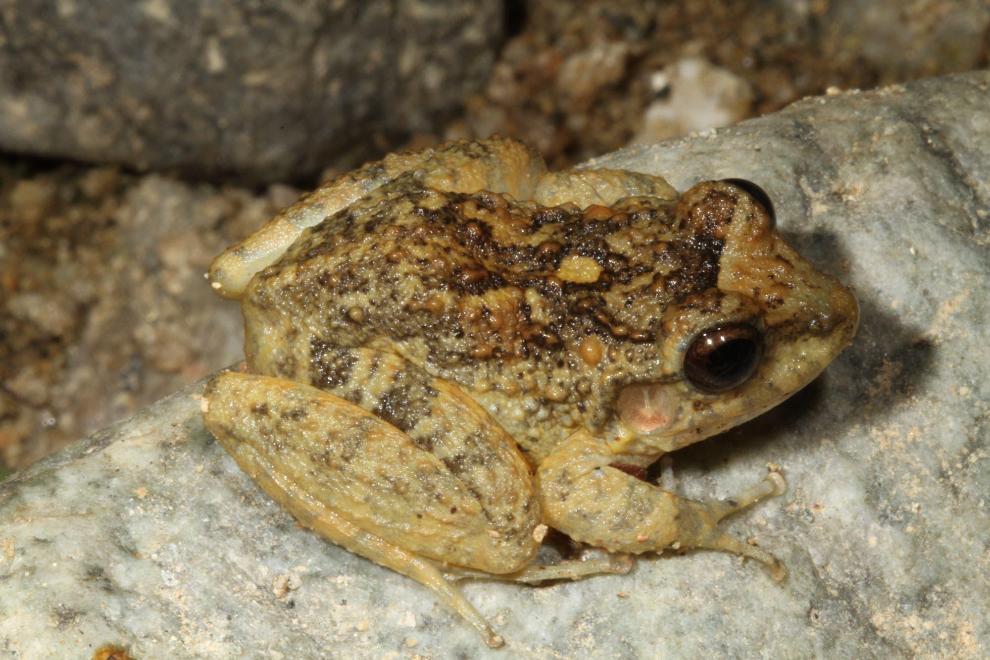 Craugastor rugulosus wurde vom Chytridpilz stark dezimiert. Die Zerstörung seines Lebensraums bedroht den Frosch zusätzlich.