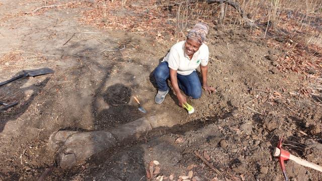 Ein Teammitglied aus Tansania bei der Freilegung eines Sauropodenknochens