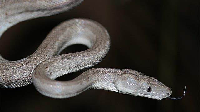 Eine silbergraue Schlange auf dunklem Grund