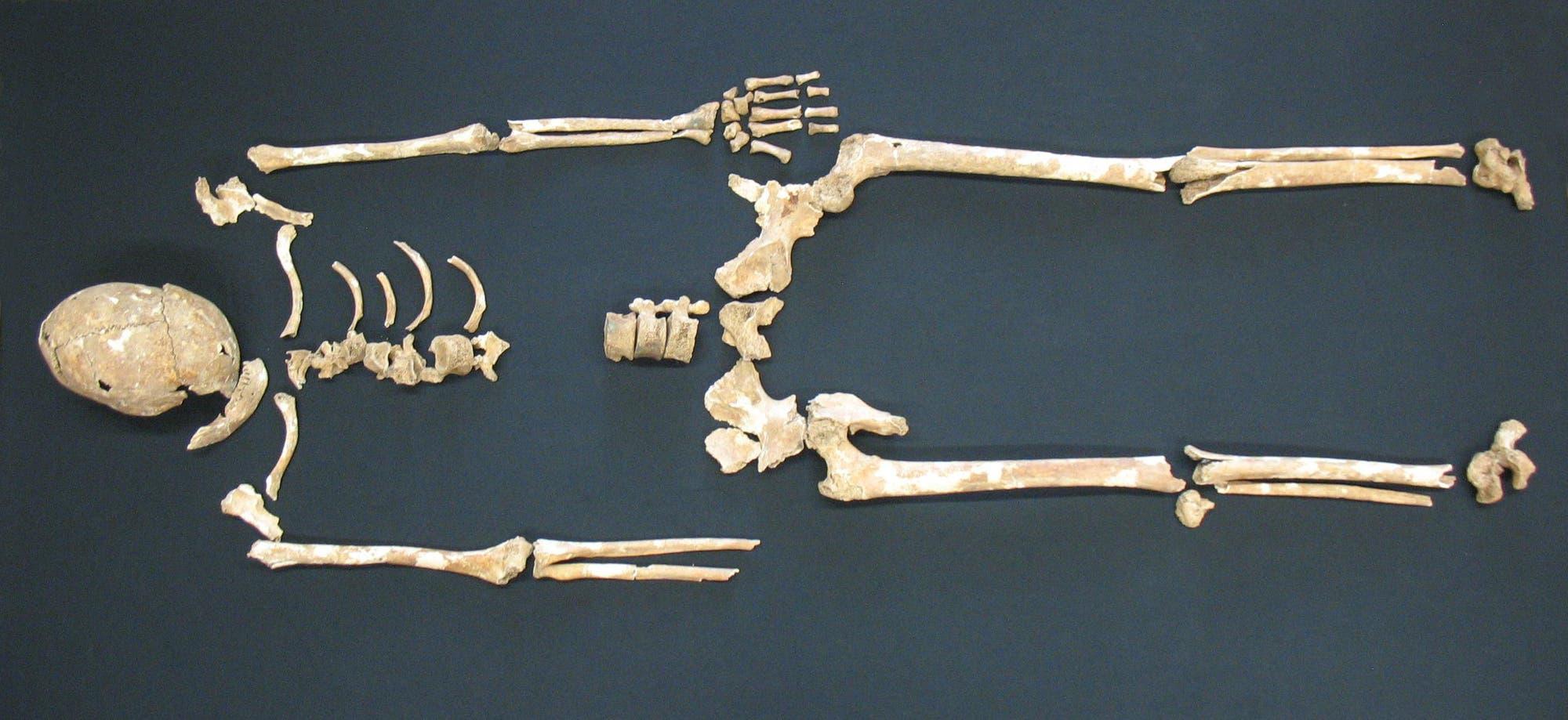 Ein Skelett von Aschheim