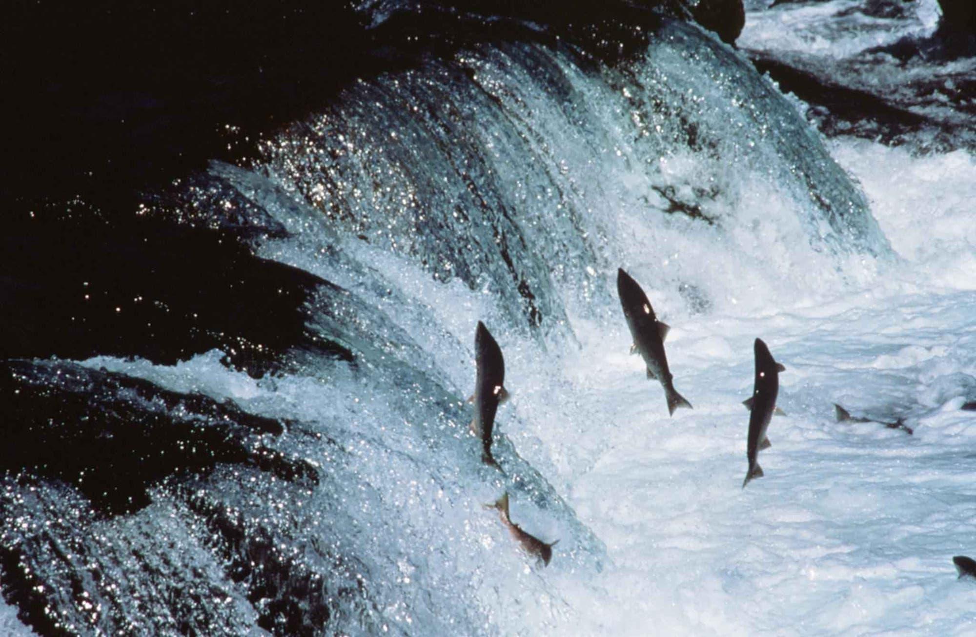 Ausgewachsene Lachse überwinden einen Wasserfall in Alaska