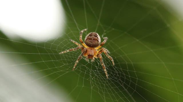 Spinne in ihrem Netz