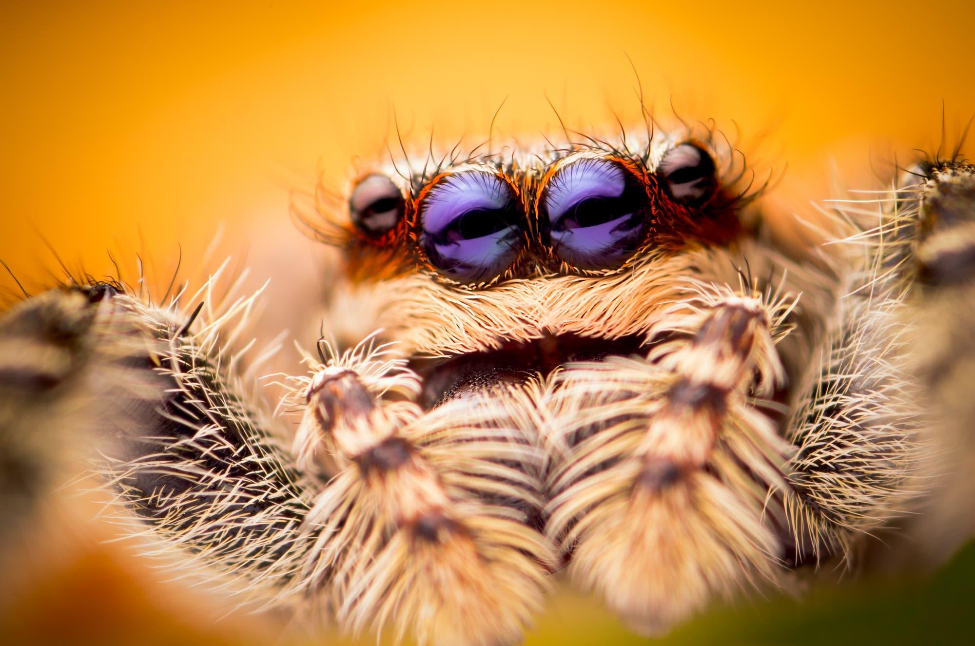 Augen einer Springspinne (Marpissa muscosa)