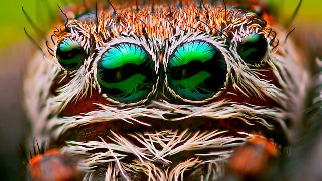 Augen einer Springspinne