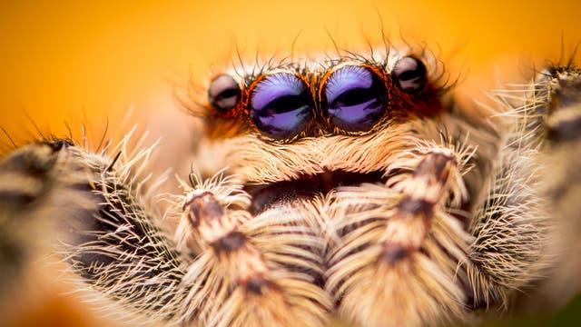 Springspinnen haben gute Augen und sensible Tasthaare