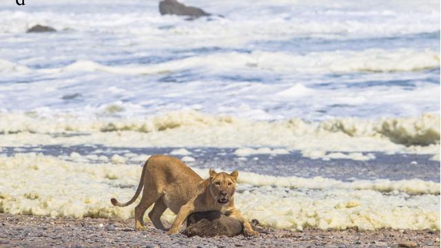 Eine Löwin erlegt einen Seebären in Namibia