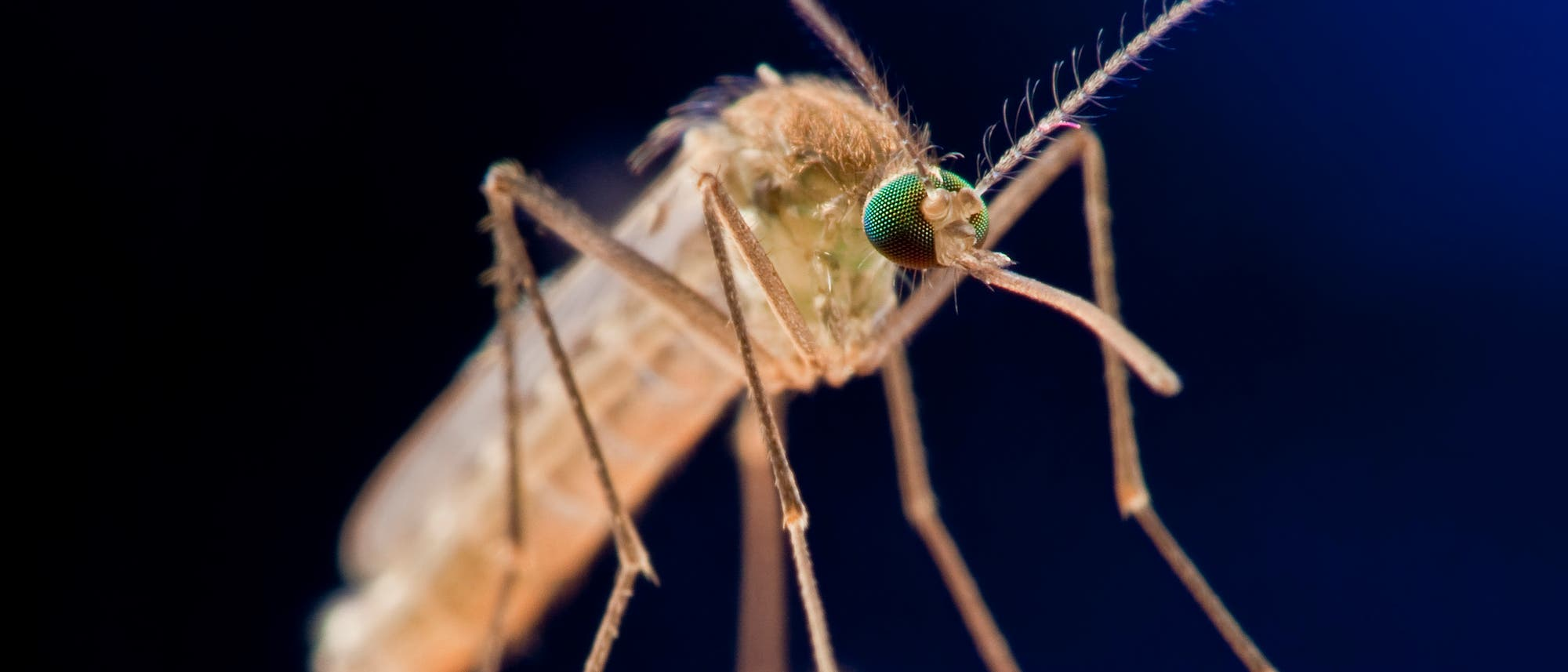 Stechmücke auf der Haut