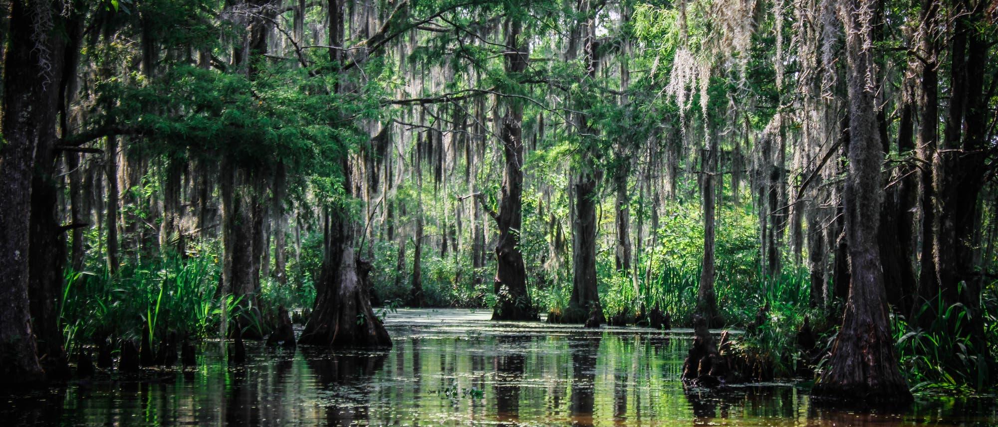 Sumpfeiben in Louisiana