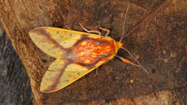Nachtfalter der Art Symphelbia fulminans