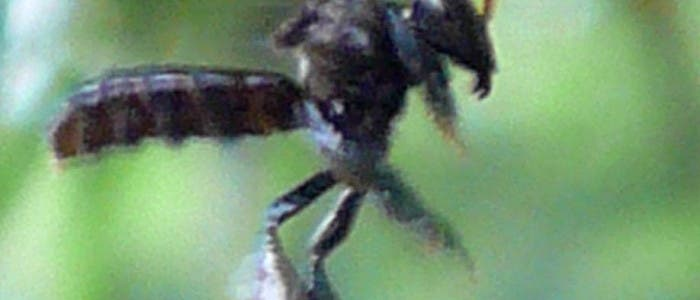 Stachellose Biene