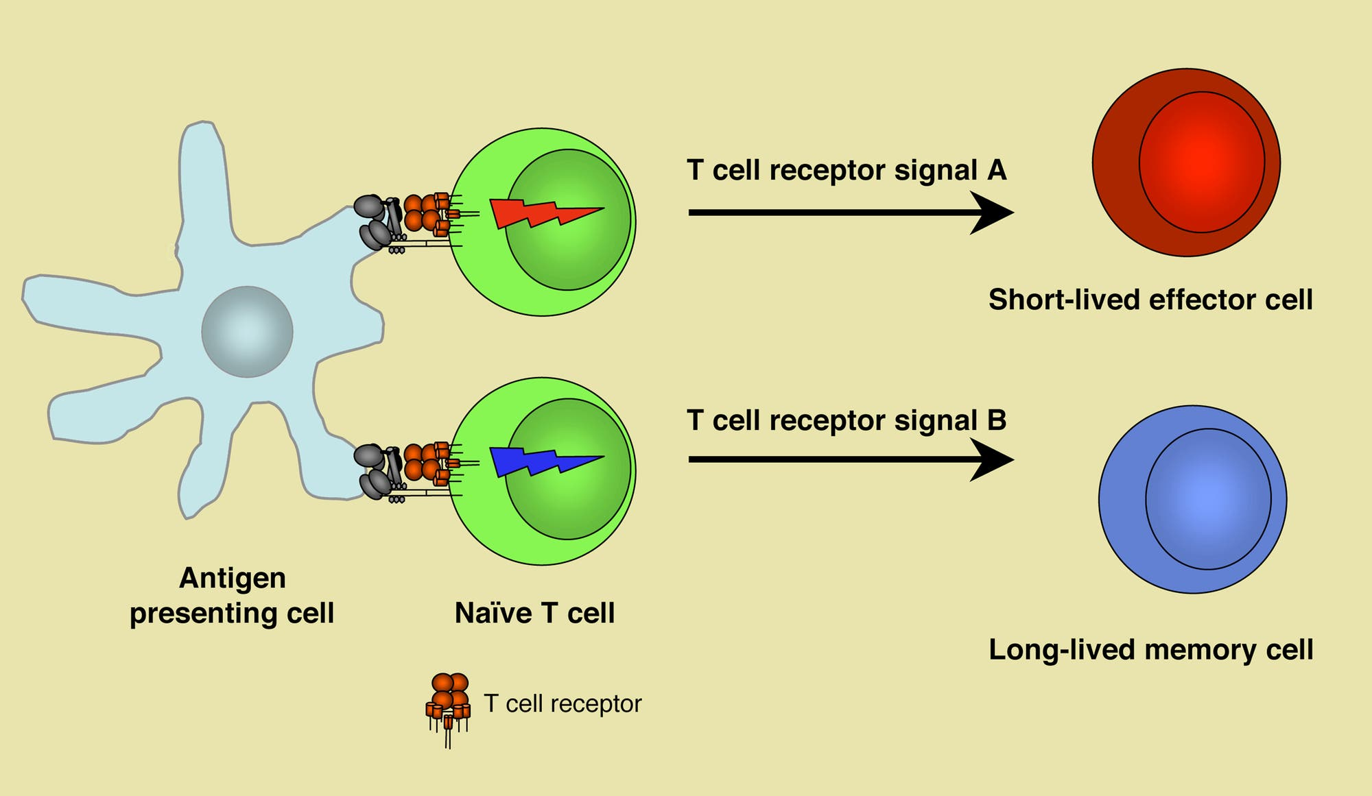 Reifung von T-Zellen