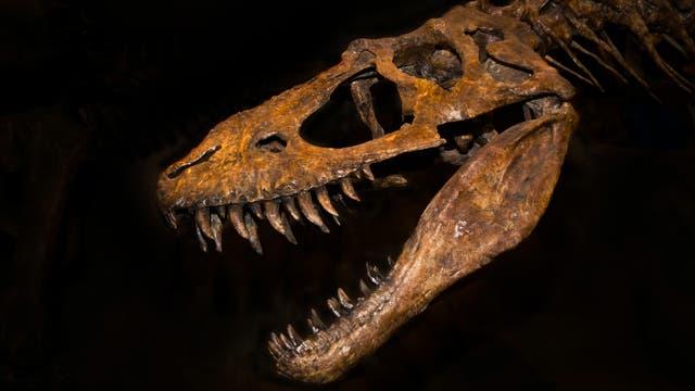 Schädel eines T. rex