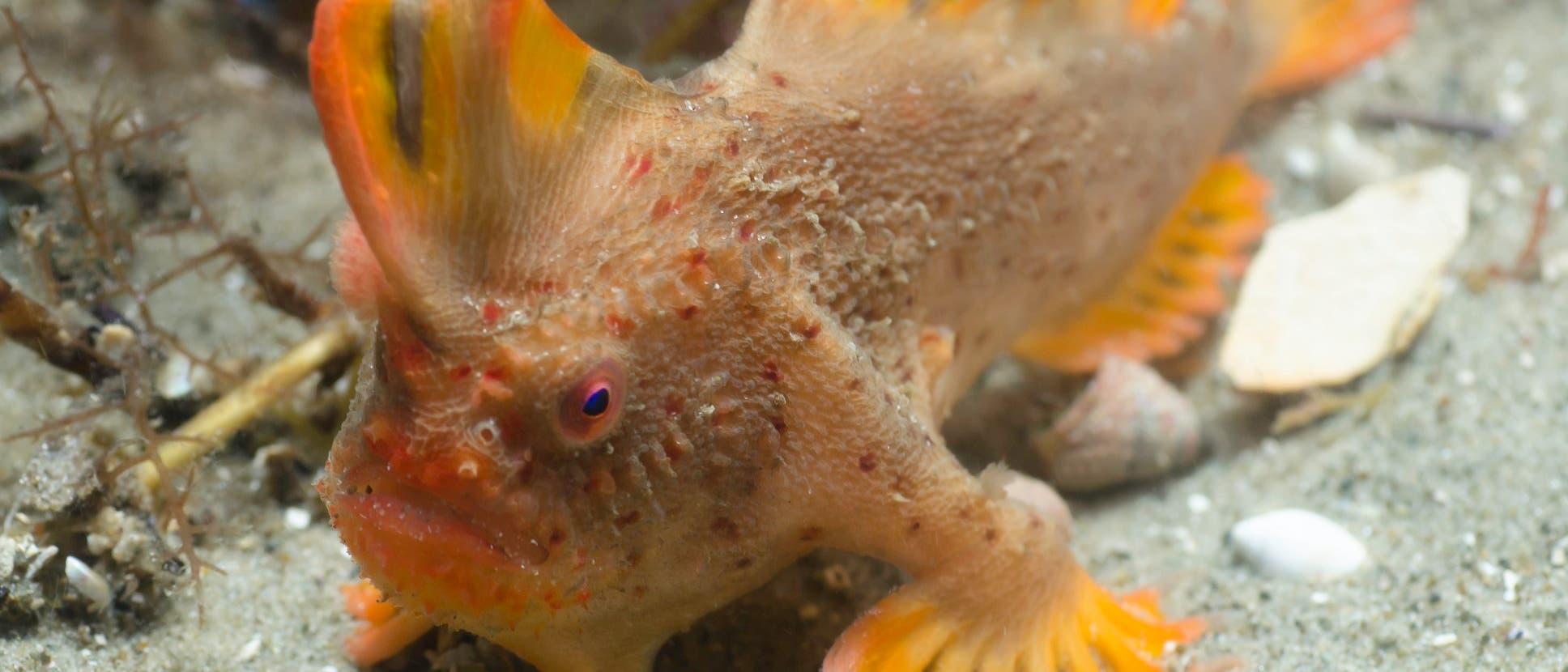 Roter Handfisch