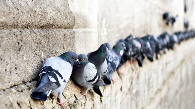 Tauben an einer Mauer