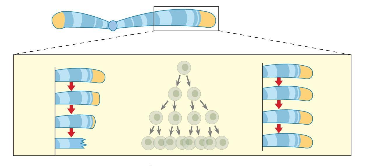 Telomerase schützt das Chromosom