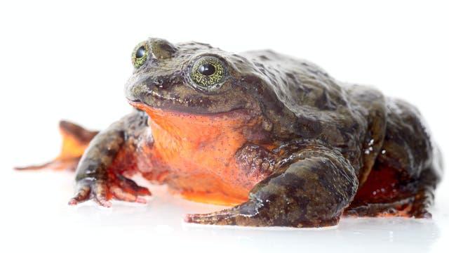 Sehuencas-Wasserfrosch