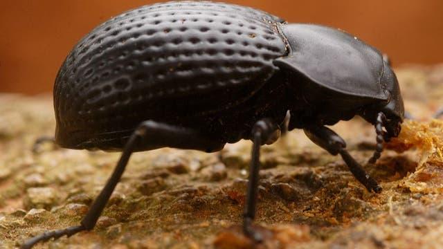 Schwarzkäfer aus der Tenebrionidae-Familie besitzen eigentümlich geformte Flügeldecken mit denen sie Tauwasser sammeln.