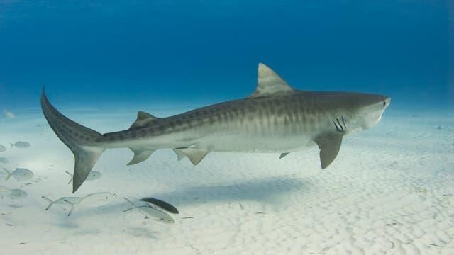 Tigerhai schwimmt im Meer, nicht in Formaldehyd