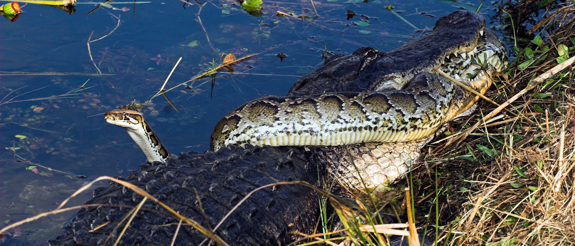 Tigerpython und Alligator kämpfen darum, wer wen fressen darf