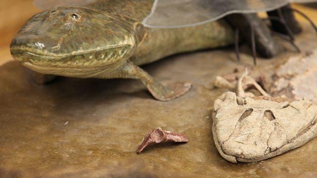 Der Urzeitfisch <em>Tiktaalik roseae</em>