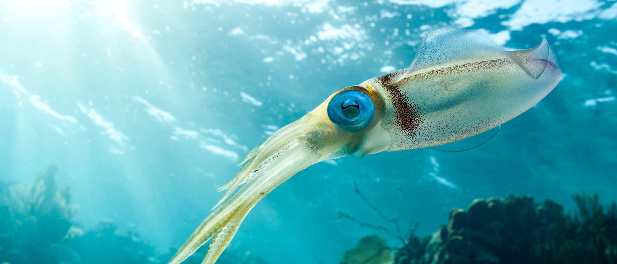 Tintenfisch im Riff