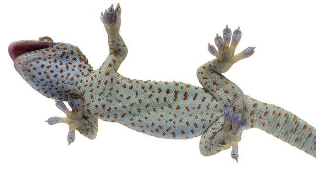 Gecko von unten
