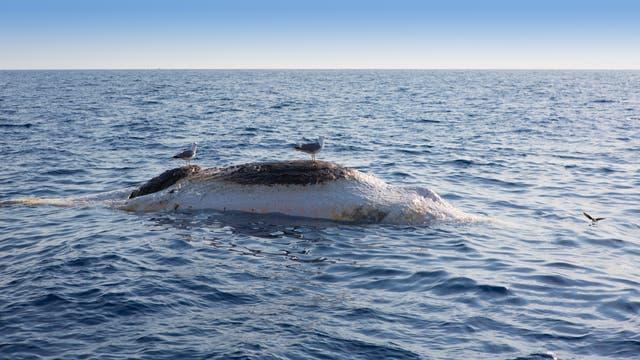 Möwen sitzen auf einem toten Wal
