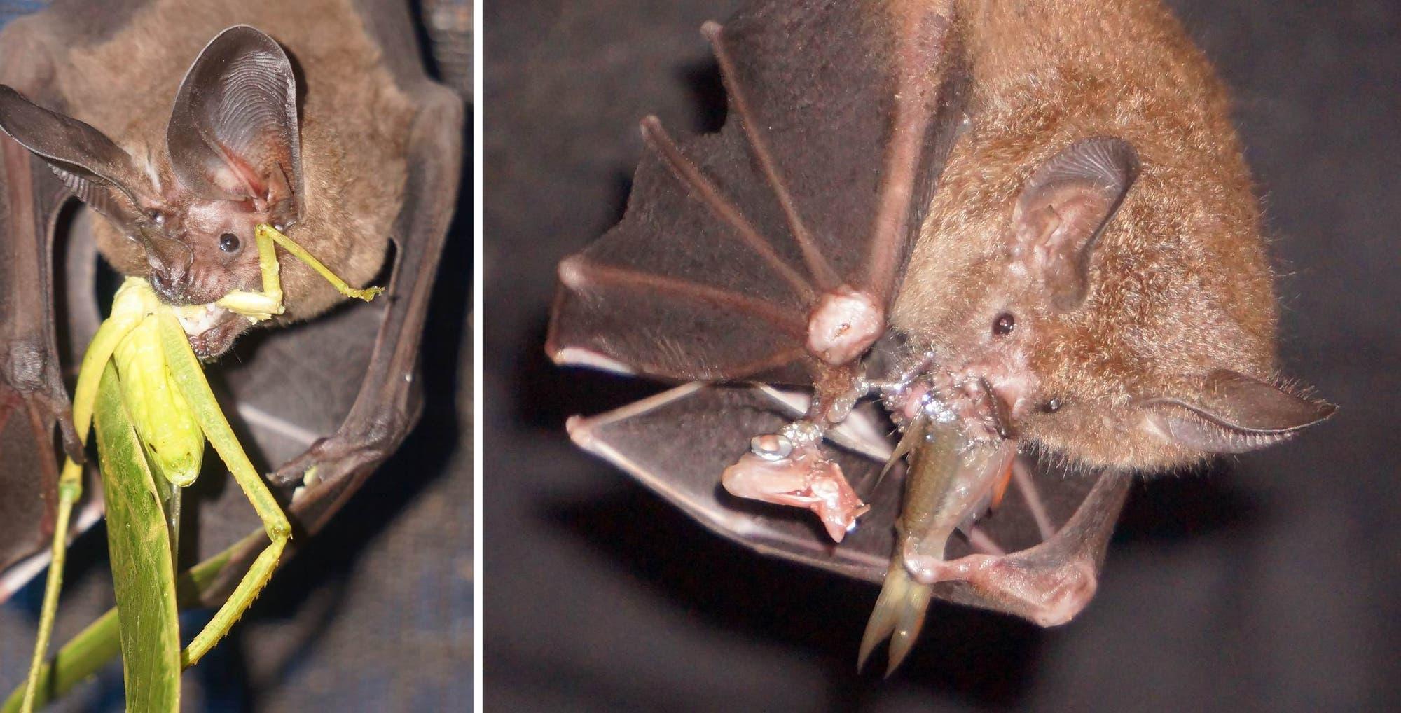 Trachops cirrhosus (links) und Lophostoma silvicolum (rechts)